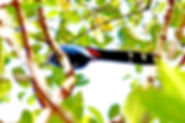 Рыжебрюхая кустарниковая кукушка (Phaenicophaeus sumatranus) Chestnut-bellied Malkoha