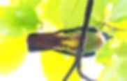 Розовошейный зелёный голубь (Treron vernans) Pink-necked Pigeon