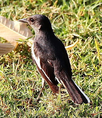 Сорочий шама-дрозд. Copsychus saularis. Oriental Magpie-Robin