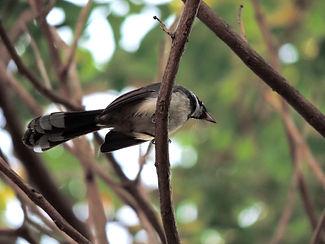 Ошейниковая веерохвостка.  Rhipidura javanica. Malaysian Pied-Fantail
