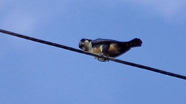 Черноногий сокол-крошка (Microhierax fri