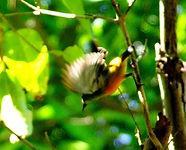 Оранжевобрюхий цветосос (Dicaeum trigonostigma)