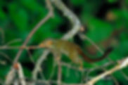Малая тупайя (Tupaia minor)
