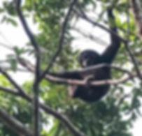 Белорукий гиббон (Hylobates lar) Lar gibbon