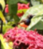Желтобрюхая нектарница (Cinnyris jugularis) Olive-backed Sunbird. Самец