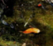 Южноазиатский прямобрюх (Orthetrum sabin