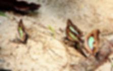 Бабочки Таиланда. Malayan nawab (Polyura moori)