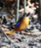 Молуккская питта. (Pitta moluccensis)  Blue-winged Pitta