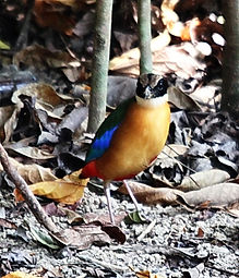 Молуккская питта, самец Blue winged Pitta, male. Pitta moluccensis