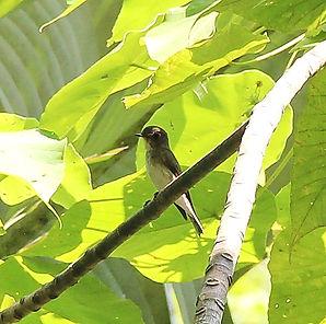 Ширококлювая мухоловка  (Muscicapa dauur
