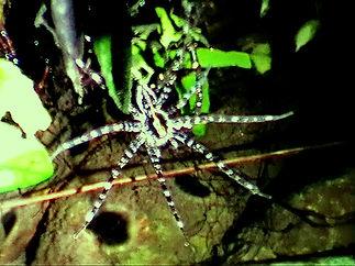 Паук Giant Water Spider (Megadolomedes australianus)
