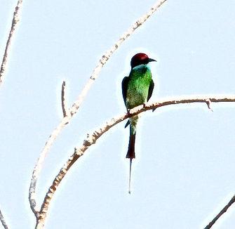 Малайская щурка (Merops viridis) Blue-throated Bee-eater