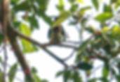 Толстоклювый зелёный голубь (Treron curvirostra) Thick-billed Green Pigeon