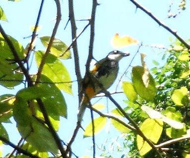 Чешуйчатый бюльбюль (Pycnonotus squamatus) Scaly-breasted Bulbul