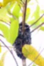 Муравейник муравья Crematogaster sp.