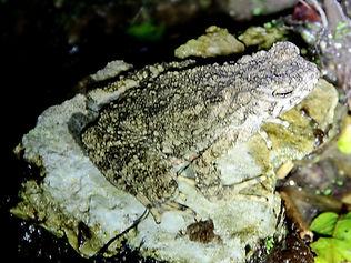 Азиатская гигантская жаба (Phrynoidis aspera) Asian giant toad