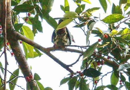 Толстоклювый зелёный голубь. Treron curvirostra. Thick-billed Pigeon