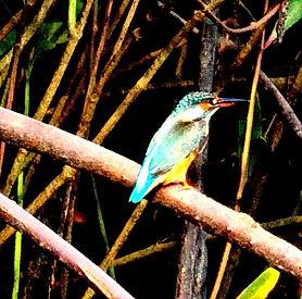 Зимородок обыкновенный (Alcedo atthis) Common Kingfisher