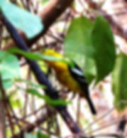 Чернокрылая йора. Aegithina tiphia. Common Iora