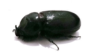 Кокосовый Жук-носорог (Oryctes rhinoceros) Asiatic rhinoceros beetle. Самка Таиланд