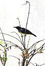 Серогорлая нектарница Anthreptes malacen