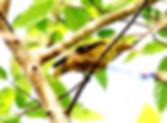 Китайская иволга (Oriolus chinensis) Black-naped Oriole
