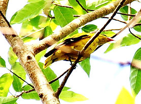 Китайская иволга (Oriolus chinensis) Black-naped Oriole