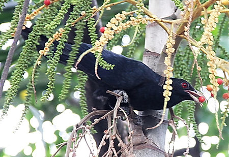 Коель  (Eudynamys scolopaceus)  Asian Koel. Male
