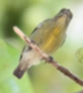 Персидскийцветосос(Prionochilus percussus),Crimson-breasted Flowerpecker. Самка.