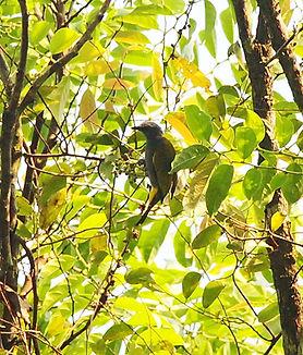 Серобрюхий бюльбюль  (Pycnonotus cyanive