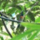 Голубогорлая мухоловка-циорнис (Cyornis rubeculoides) Blue-throated Flycatcher
