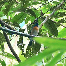 Голубогорлая мухоловка-циорнис (Cyornis rubeculoides) Blue-throated Flycatcher