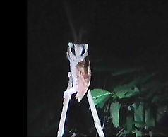 Восточная масковая сипуха (Phodilus badius)