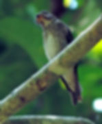 Ширококлювая мухоловка.  Muscicapa dauurica siamensis. Asian Brown Flycatcher