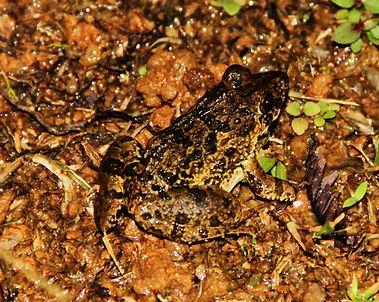 Рисовая лягушка (Fejervarya limnocharis) Asian grass frog