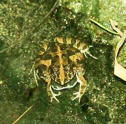 Рисовая лягушка (Fejervarya limnocharis) Asian Grass Frog