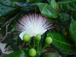 Цветок Баррингтонии азиатской