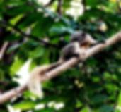 Белка Финлайсона  (Callosciurus finlaysonii