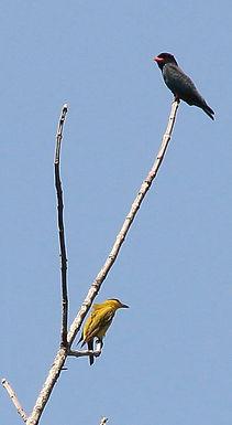 Восточный Широкорот (Eurystomus orientalis) Dollarbird