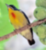 Персидский цветосос Prionochilus percussus. Crimson-breasted Flowerpecker