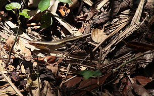 Азиатская мабуя. (Eutropis multifasciata) Common Sun Skink.