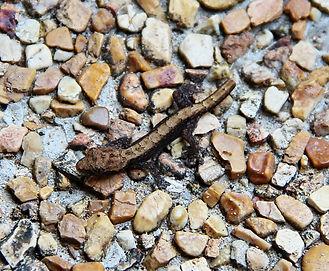 Молодой Домовый геккон