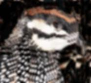 Жемчужный турач.  (Francolinus pintadeanus) Chinese Francolin