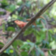 Калот-кровосос ( Calotes versicolor) Ori