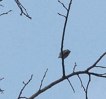 Синеухий бородастик (Megalaima australis) Blue eared Barbet.