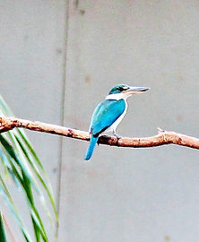 Белошейная альциона (Todiramphus chloris) Collared Kingfisher