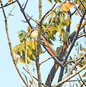 Сибирский жулан (Lanius cristatus) Brown Shrike. Krabi