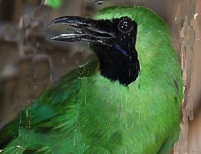 Большая зелёная листовка. (Chloropsis sonnerati) Greater Green Leafbird
