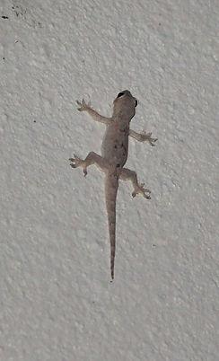 Азиатский полупалый геккон Hemidactylus frenatus Common house gecko