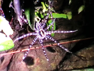 Giant Water Spider (Megadolomedes australianus)